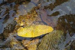 浮动的叶子水 免版税库存照片