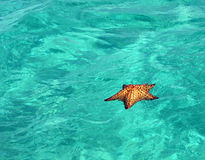 浮动的海星 库存照片