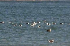 浮动的海鸥 库存图片