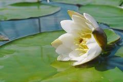 浮动的花百合池塘水 免版税库存照片