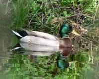 浮动的野鸭 免版税图库摄影