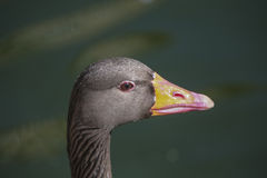 浮动的鹅灰色水 免版税图库摄影