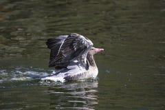 浮动的鹅灰色水 免版税库存图片