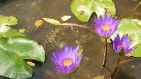 浮动荷花在池塘 从上面有漂浮在平静的水中的桃红色荷花花的绿色叶子 影视素材
