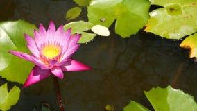 浮动荷花在池塘 从上面有漂浮在平静的水中的桃红色荷花花的绿色叶子 股票录像