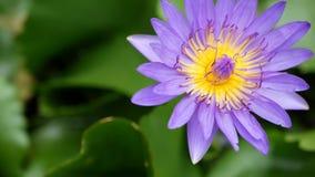 浮动荷花在池塘 从上面有漂浮在平静的水中的紫罗兰色荷花花的绿色叶子 股票录像