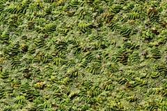 浮动蕨(槐叶萍属natans)水表面上 库存图片