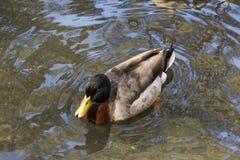 浮动鸭子 图库摄影