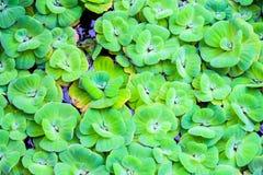 浮游物水lettuec 免版税库存照片