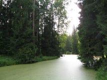 浮萍和高几百年的云杉的一条河 免版税库存图片