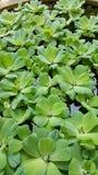 浮萍,水色植物 免版税库存照片
