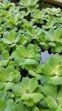 浮萍,水色植物 库存图片