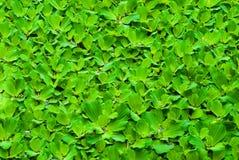 浮萍绿色水 免版税库存照片