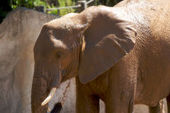 浴大象 库存图片
