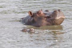 浴hippopotam星期日采取 库存照片