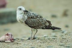 海†‹â€ ‹鸟在含沙海岸站立 免版税图库摄影