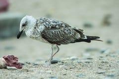 海†‹â€ ‹鸟在含沙海岸站立 免版税库存照片