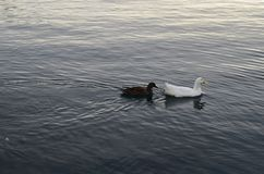 海上的鸭子 免版税图库摄影