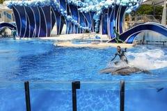 海世界冲浪在展示期间的佛罗里达海豚 免版税库存图片