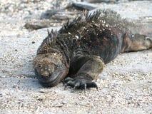 海产鬣蜥蜴在加拉帕戈斯 免版税库存照片