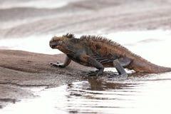 海产鬣蜥蜴离开在圣地亚哥海岛, Galap上的水 库存图片