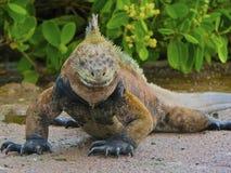 海产鬣蜥蜴凝视得下来 免版税库存图片