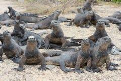 海产鬣蜥蜴取暖在阳光下,加拉帕戈斯 库存图片
