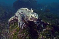 海产鬣蜥蜴哺养的水中,加拉帕戈斯 免版税库存照片