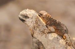 海产鬣蜥蜴家庭,加拉帕戈斯群岛,厄瓜多尔 免版税库存图片