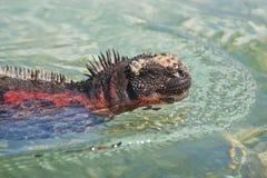 海产鬣蜥蜴 库存照片