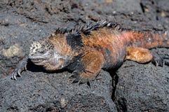 海产鬣蜥蜴 免版税库存照片