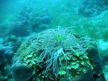海人生的海葵属 图库摄影