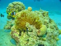 海人生的珊瑚和鱼 免版税库存图片