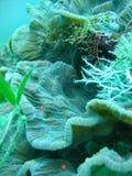 海人生的珊瑚 库存照片