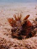 海人生的石头鲈 库存照片