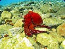 海人生的章鱼 库存图片