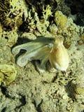 海人生的章鱼 免版税图库摄影