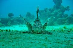海人生的蓑鱼 库存照片