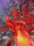 海人生的crinoid 免版税库存图片