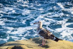 海在拉霍亚小海湾的泡沫海鸥在圣地亚哥附近 库存照片