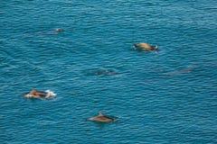 黑海宽吻海豚群在克里米亚的海岸附近嬉戏 库存图片