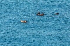 黑海宽吻海豚群在克里米亚的海岸附近嬉戏 库存照片