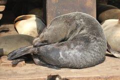 海封印晒日光浴的睡觉,纳米比亚 免版税库存照片