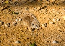 海岛猫鼬类在沙子的suricatta开掘 免版税库存照片