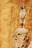 海岛猫鼬类 图库摄影