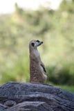 海岛猫鼬类 免版税库存图片
