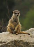 海岛猫鼬类 免版税库存照片