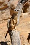 海岛猫鼬类suricatta 库存照片