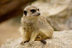 海岛猫鼬类在动物园里 库存图片