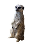 海岛猫鼬类 库存照片